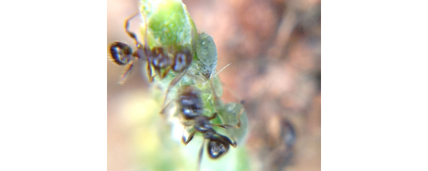 Ants and Aphids 2